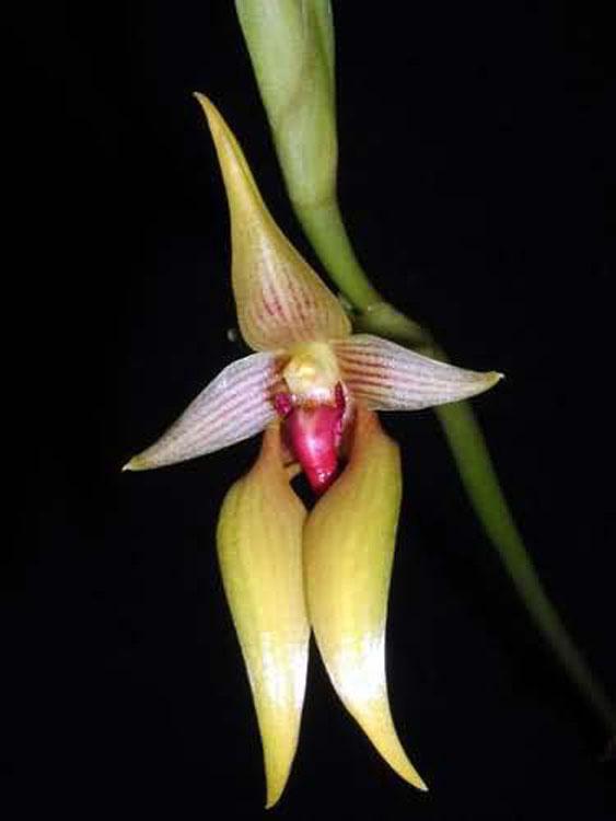 Bulbophyllum orthoglossum 2