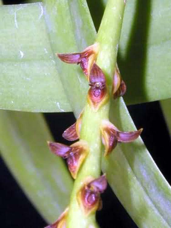 Bulbophyllum sectiom ploiarum