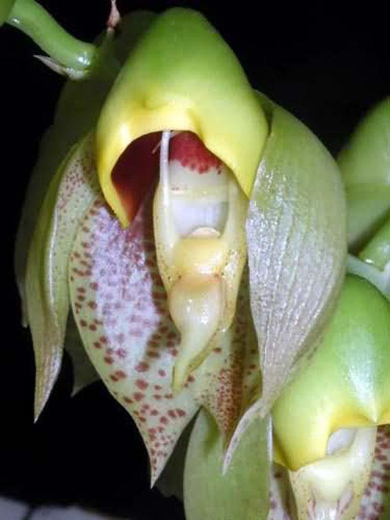 Catasetum macrocarpum male