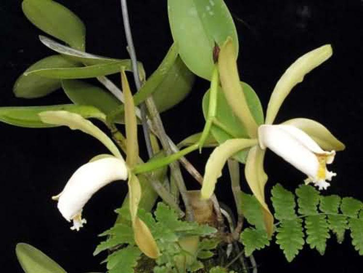 Cattleya forbesii 3