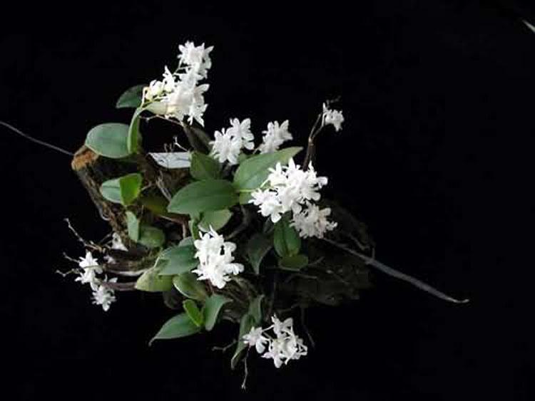 Dendrobium aberans 2