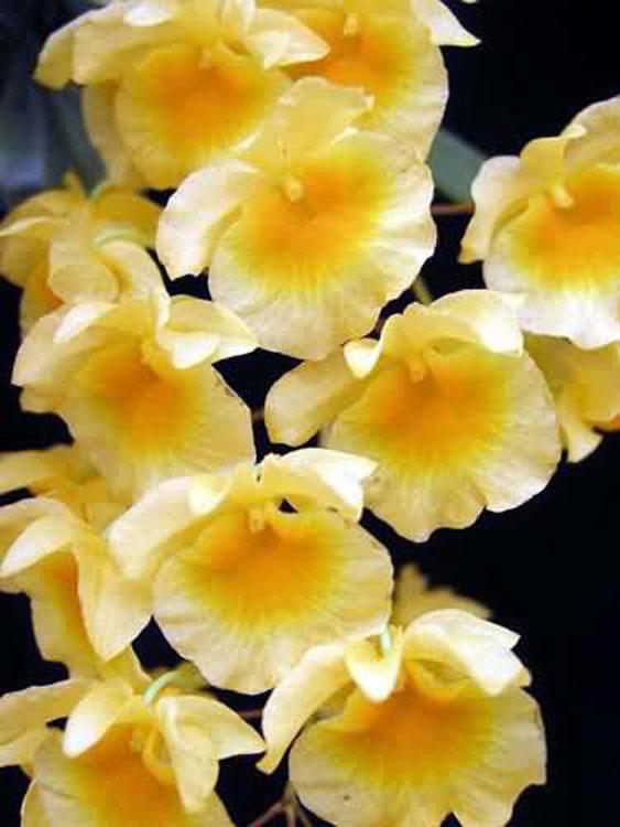 Dendrobium aggregatum 1