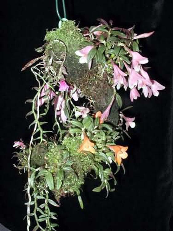 Dendrobium cuthbertsonii 1