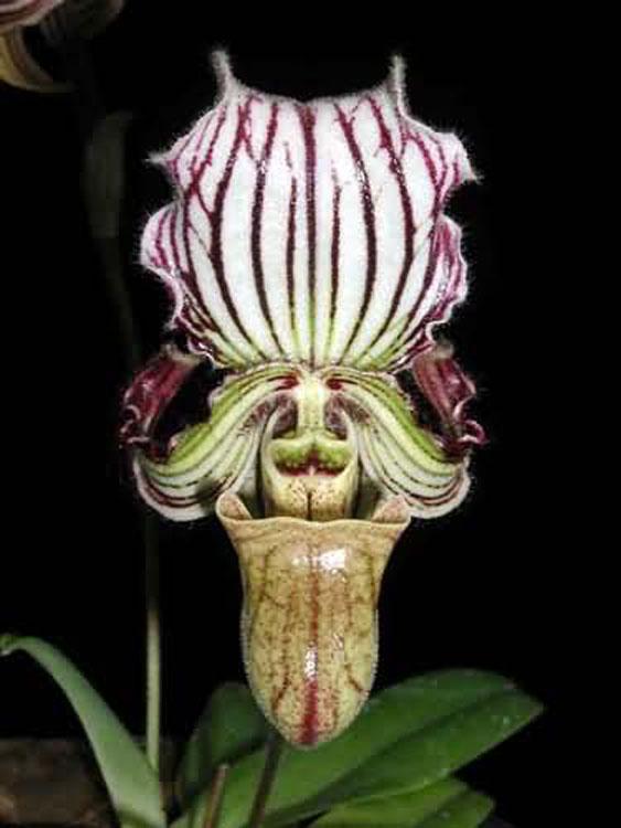 Paphiopedilum fairieanum
