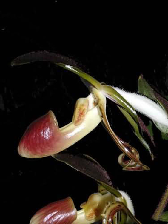 Paphiopedilum gigantifolium 1