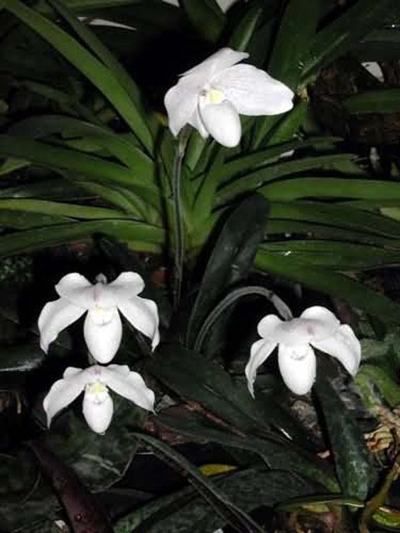Paphiopedilum niveum 1