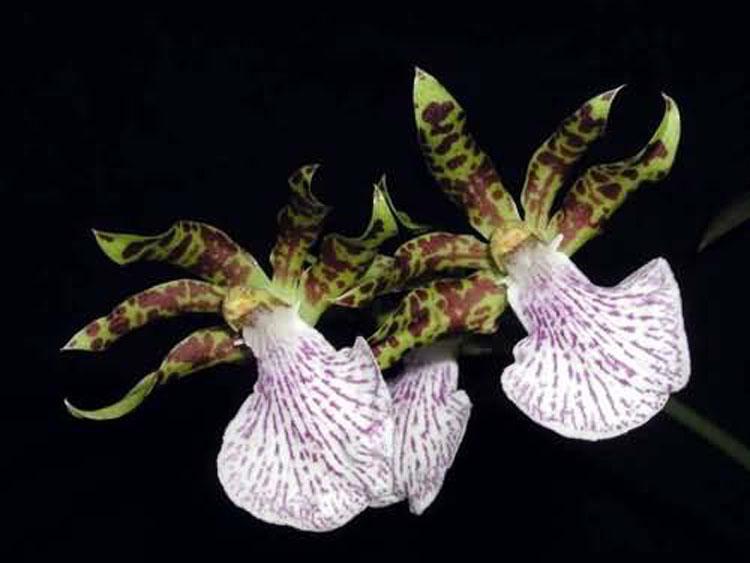Zygopetalum mackay