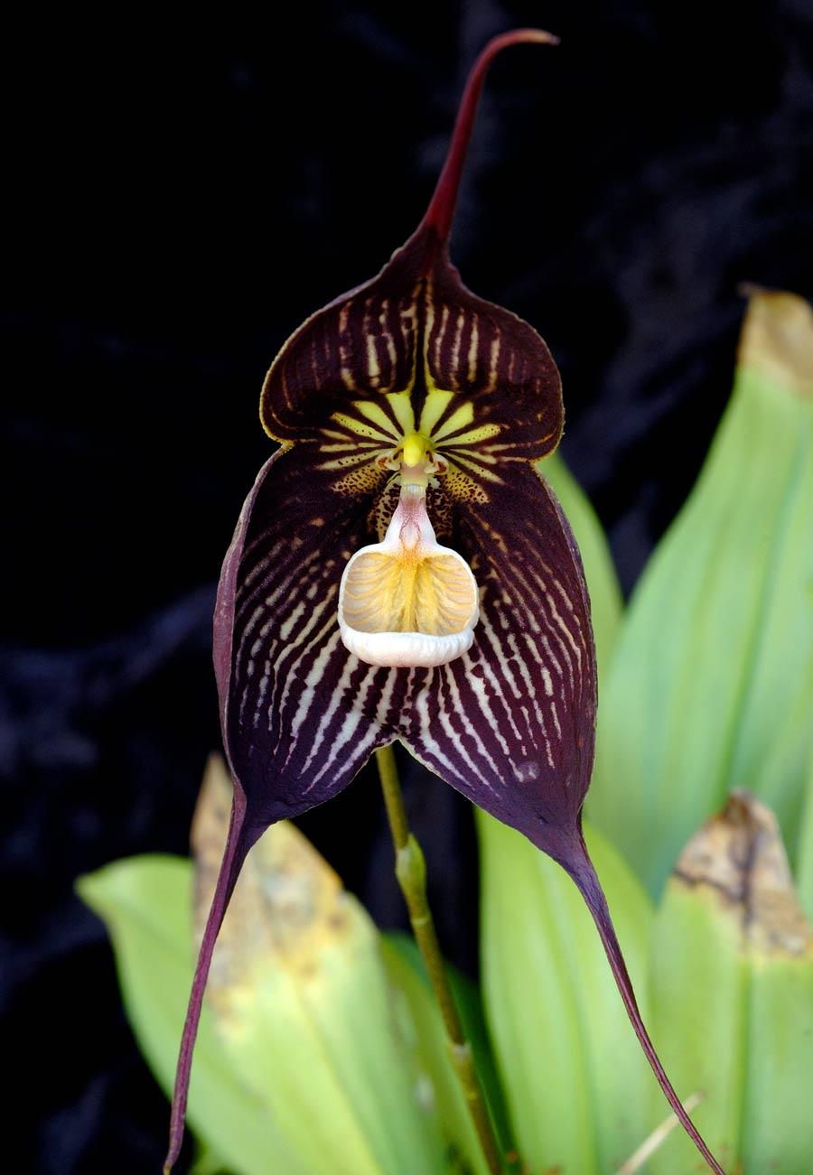 Phragmipedium China Dragon Hybride NEW XL Pflanze Orchidee Orchideen