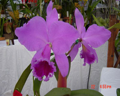 bewertung cattleya labiata 39 rubra 39 von reinhard k gro r schener orchideen. Black Bedroom Furniture Sets. Home Design Ideas