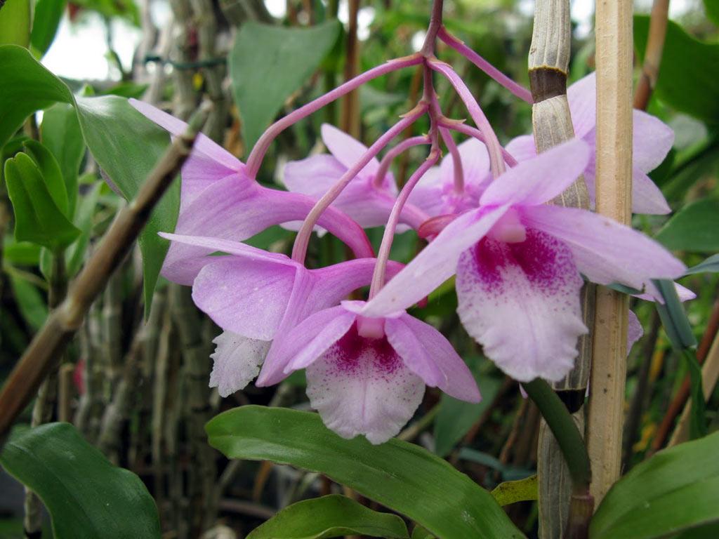 dendrobium cumulatum 28640 bluehstarke orchidee pflege topfkultur pictures. Black Bedroom Furniture Sets. Home Design Ideas