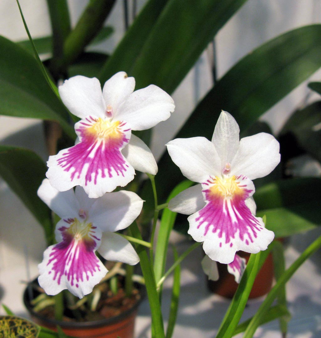 miltonia phalaenopsis gro r schener orchideen. Black Bedroom Furniture Sets. Home Design Ideas