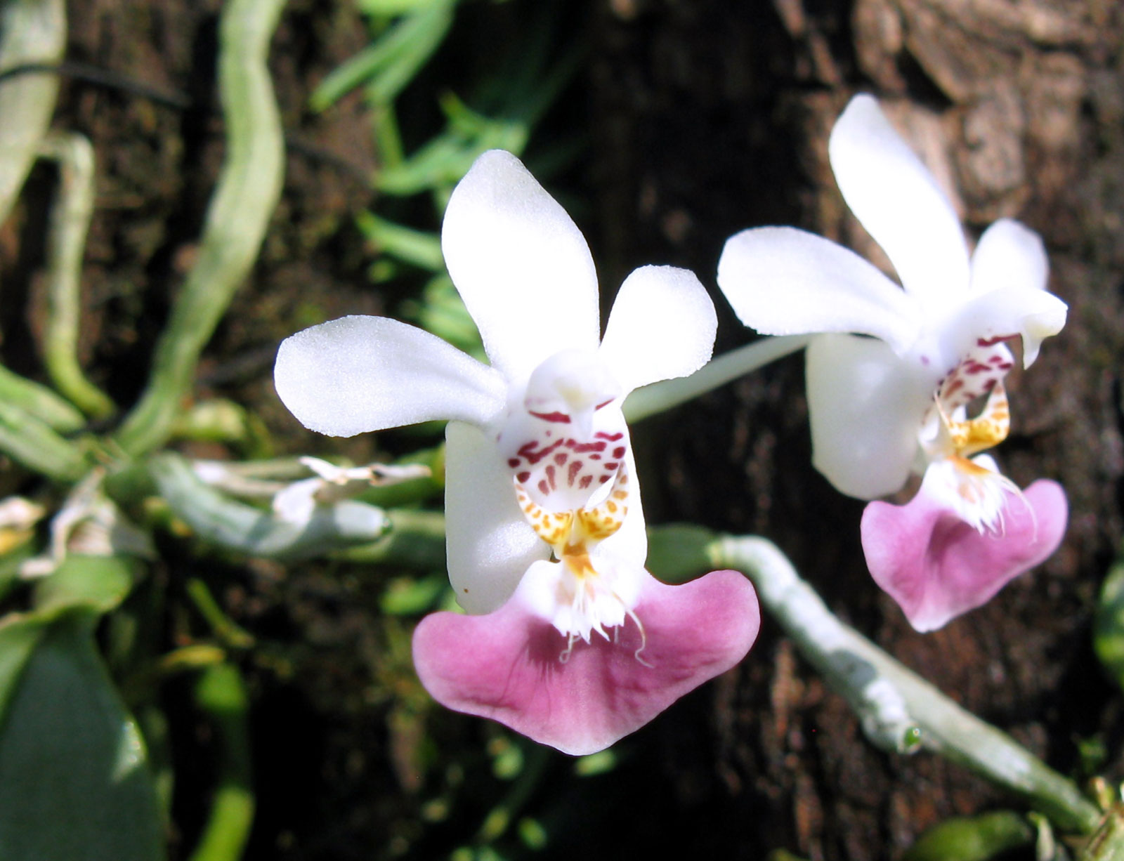 phalaenopsis parishii gro r schener orchideen. Black Bedroom Furniture Sets. Home Design Ideas