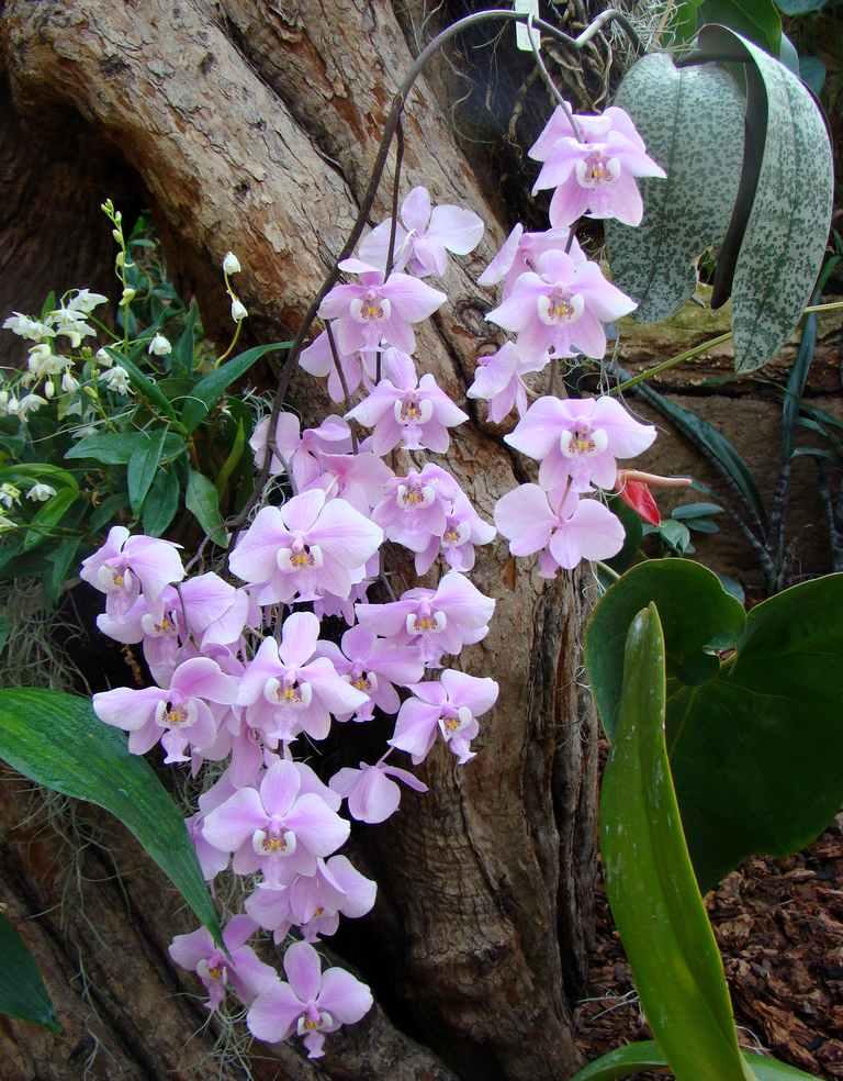 phalaenopsis schilleriana gro r schener orchideen. Black Bedroom Furniture Sets. Home Design Ideas