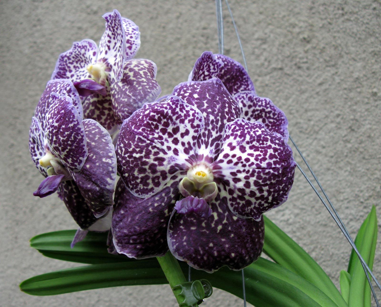 vanda midnight black gro r schener orchideen. Black Bedroom Furniture Sets. Home Design Ideas