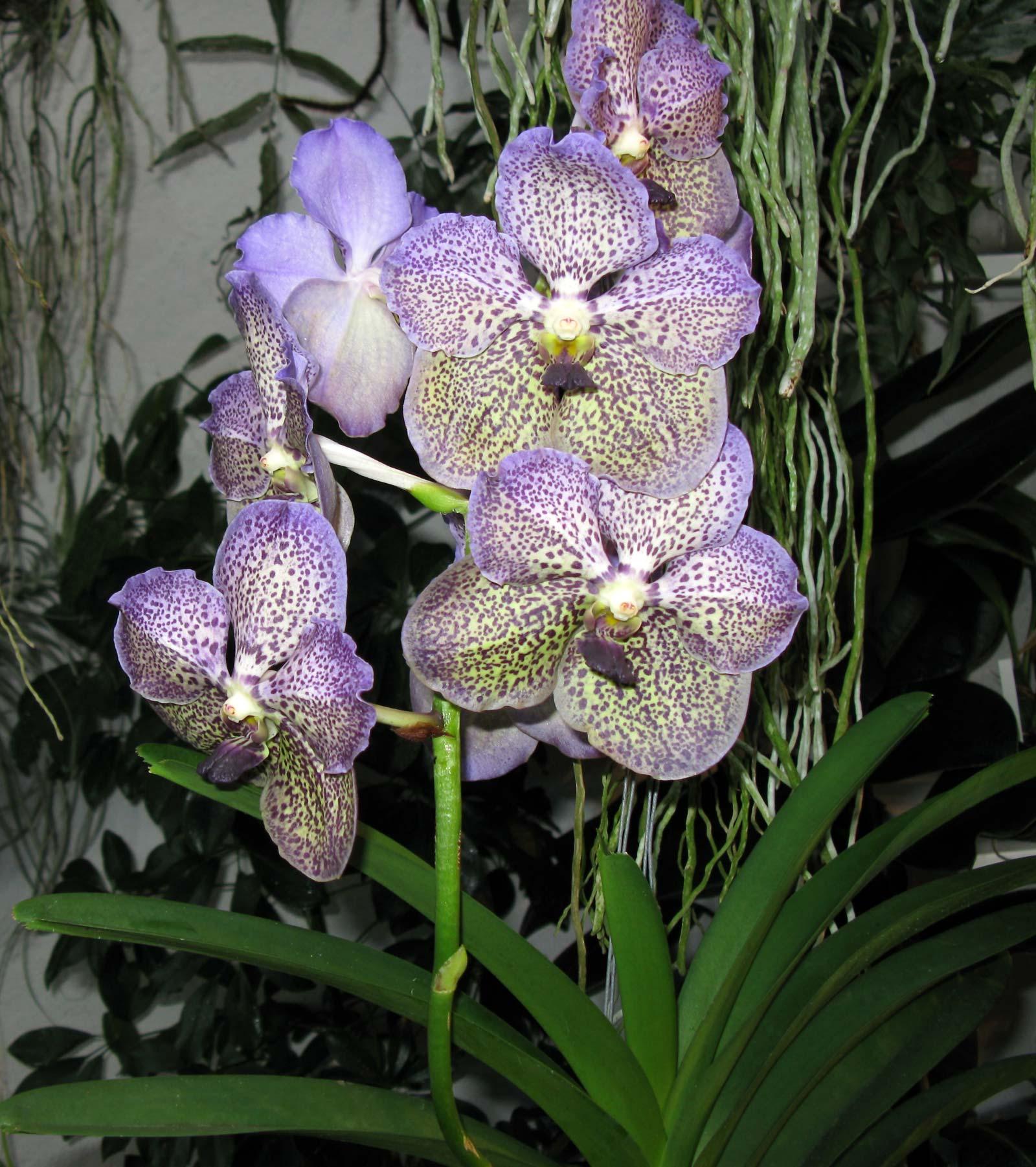 vanda moonlight blue gro r schener orchideen. Black Bedroom Furniture Sets. Home Design Ideas