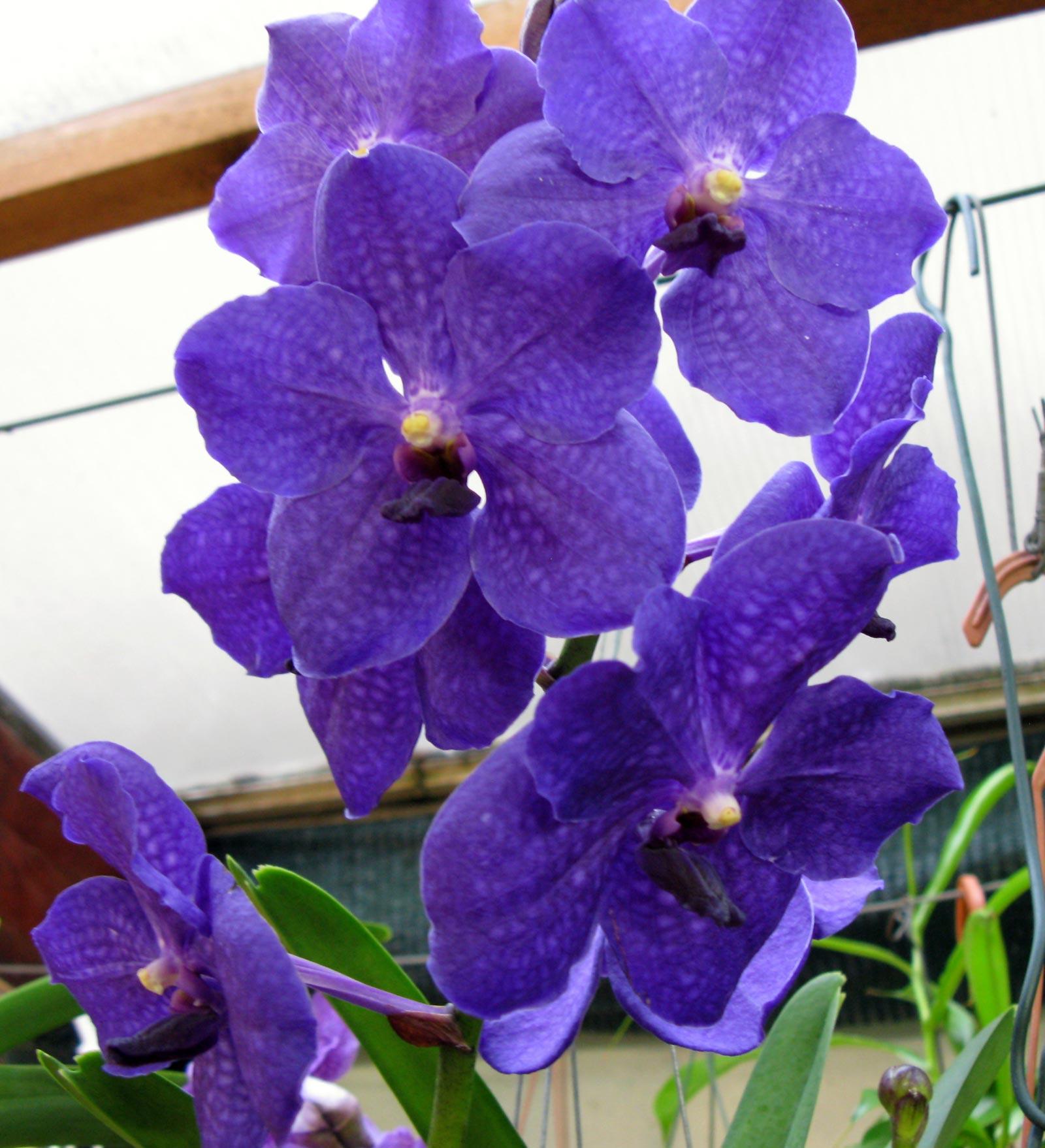 vanda royal blue gro r schener orchideen. Black Bedroom Furniture Sets. Home Design Ideas